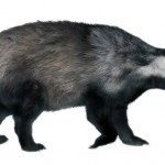 Badger: furred!