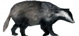 Badger: furred!
