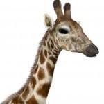 Giraffe: furred!