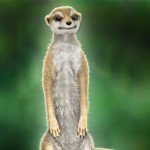 Meerkat: larger render