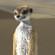 DAZ Meerkat fur preset by MSymon